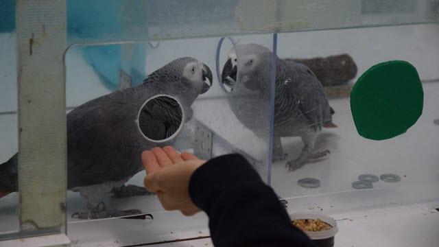 Parrots Help Each Other