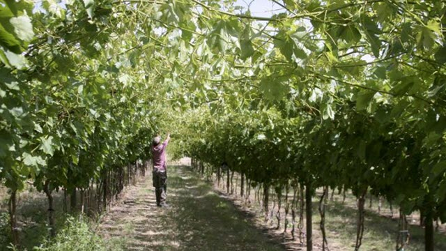 researcher scouting orchard