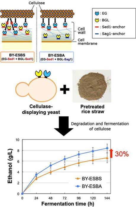 Figure 2: Improvement of Cellulose Degradation Ability by Applying Anchorage Position Control