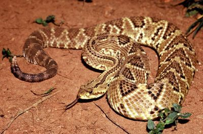 Novel Formulation Permits Use of Toxin from Rattlesnake Venom to Treat Chronic Pain