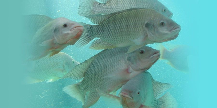 Genetic Resistance to Lethal Virus Found in Key Farmed Fish Species
