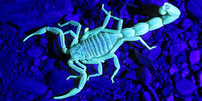 Scorpions Make a Fluorescent Compound That Could Help Protect Them from Parasites