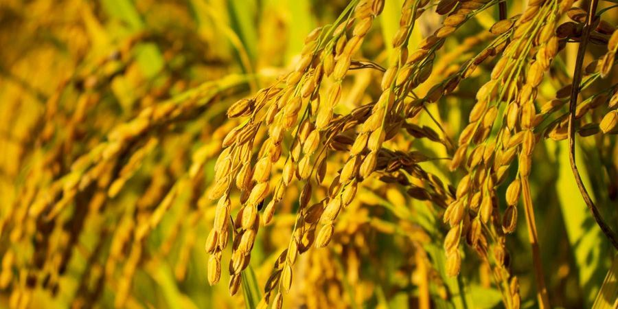 Genome Editing Strategy Could Improve Rice, Other Crops