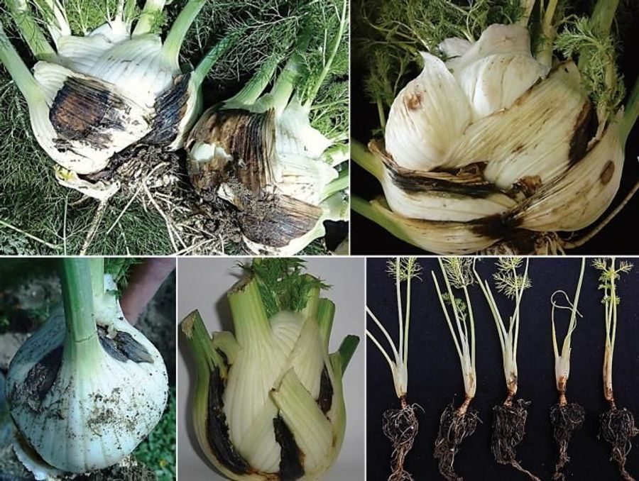 New Pathogen Threatens Fennel Yield in Italy