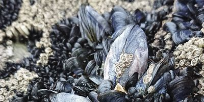 Mussel Reefs Heighten Microplastic Exposure and Consumption Risk