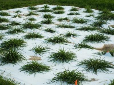 Researchers Develop Heat-Tolerant Annual Ryegrass Germplasm