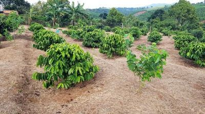 Study: Even Toughest Coffee Trees Vulnerable to Slight Warming