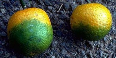 First Effective Treatment for Citrus Greening Disease Discovered