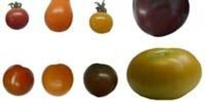 Comparing Antioxidants Levels in Tomatoes of Different Color