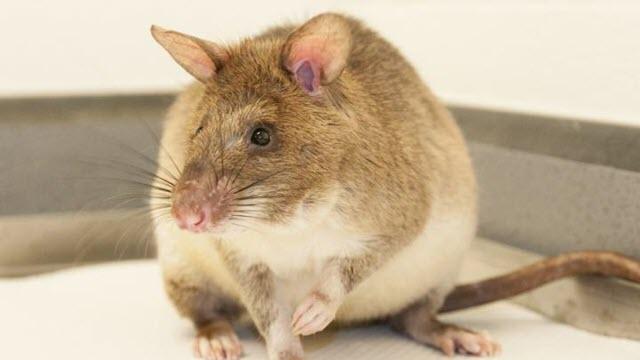 land mine rats