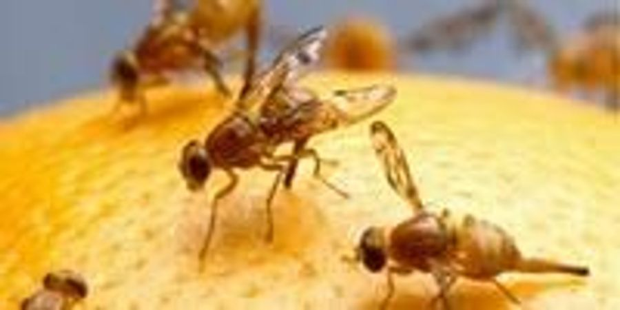 Fruit Flies Help to Shed Light on the Evolution of Metabolism