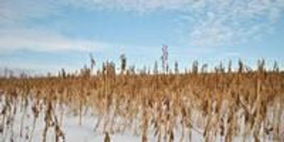 Cover Crops May Increase Winter Temperatures in North America