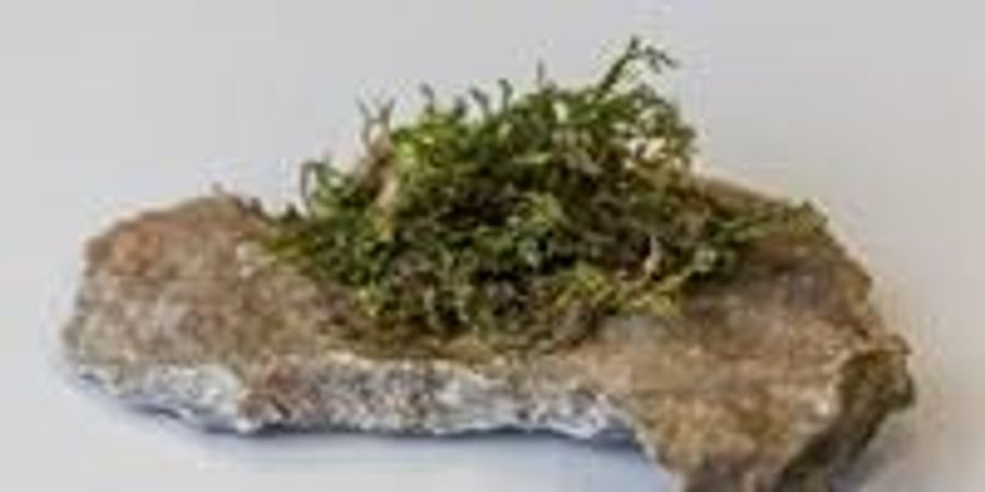 Type of Moss Could Prove to Be More Medically Effective Than Hemp