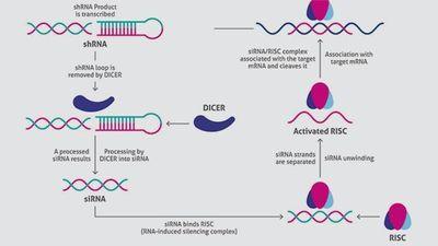 How siRNA Knockdown Antibody Validation Works