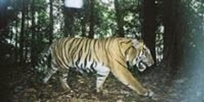 Research Methods That Find Serial Criminals Could Help Save Tigers
