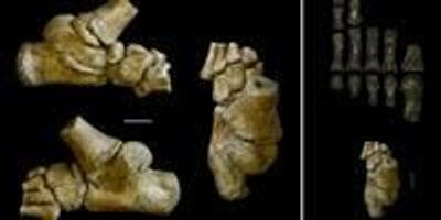 Our Human Ancestors Walked on Two Feet but Their Children Still Had a Backup Plan