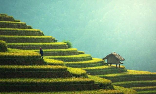rice-plants