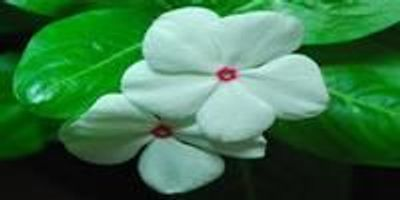 Milestone Research on Madagascar Periwinkle Uncovers Pathway to Cancer-Fighting Drugs
