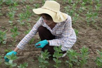 Faba Researcher in Field