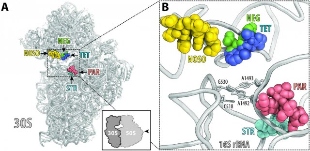 ODLs bind to a site on the ribosome not used by other antibiotics