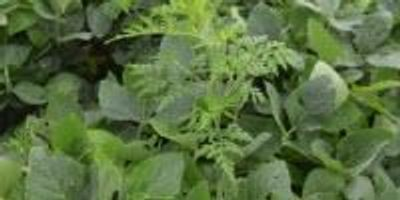 Ragweed Casts Shade on Soy Production