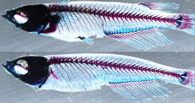 medaka fish comparison