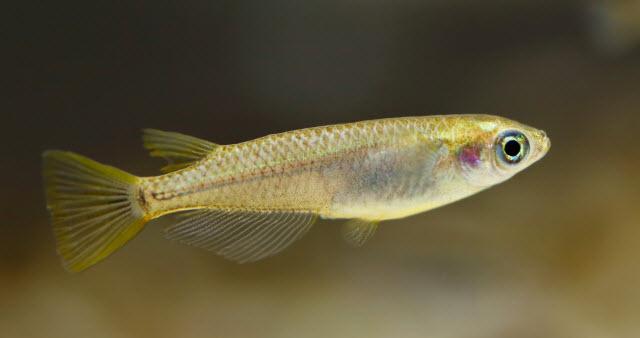 medaka fish