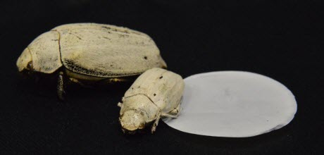 Cyphochilus beetles and cellulose coating
