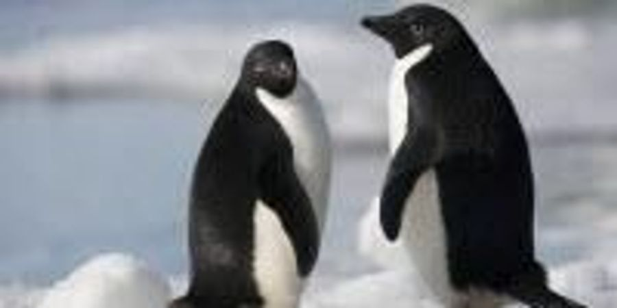 """""""Supercolony"""" of Adélie Penguins Discovered in Antarctica"""
