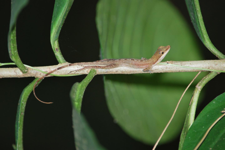 Lizard on a branch