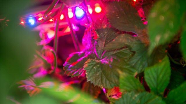 hops grown in LED lighting
