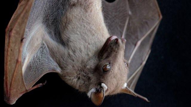 Epomophorus Bat