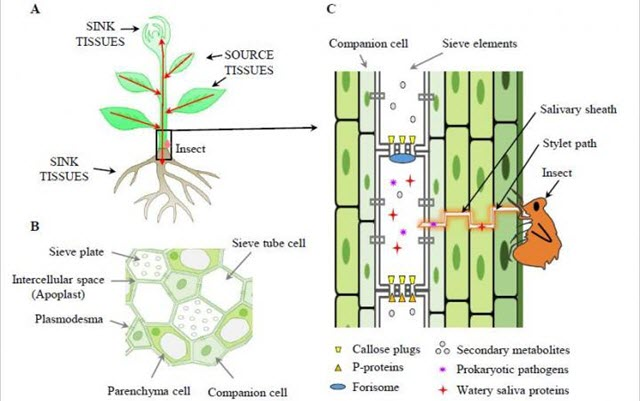 Progress and Challenges of Phloem Research