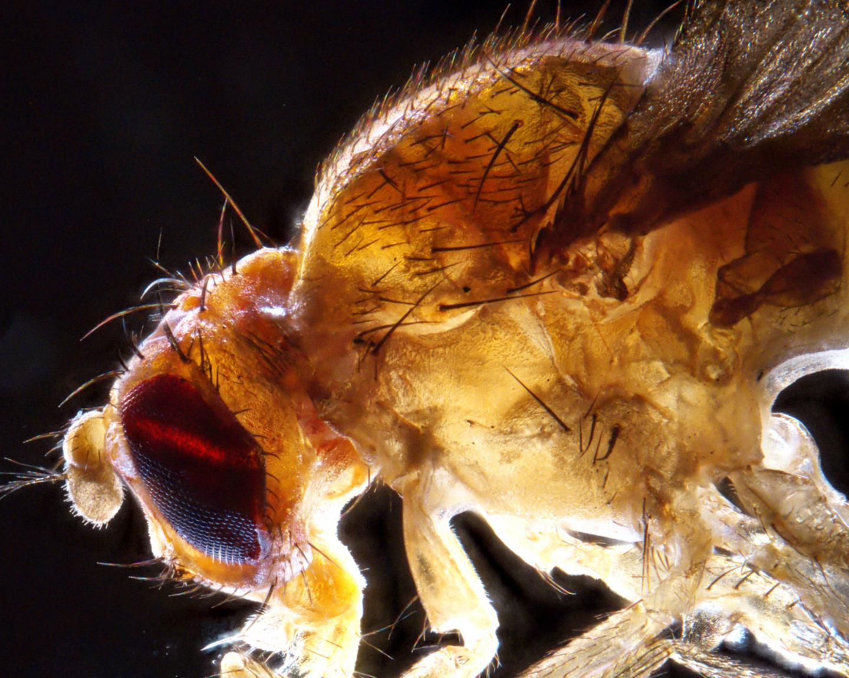 Enlarged Drosophila Fruit Fly