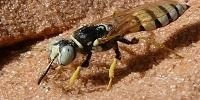 Beewolves Have Been Successfully Using the Same Antibiotics for 68 Million Years