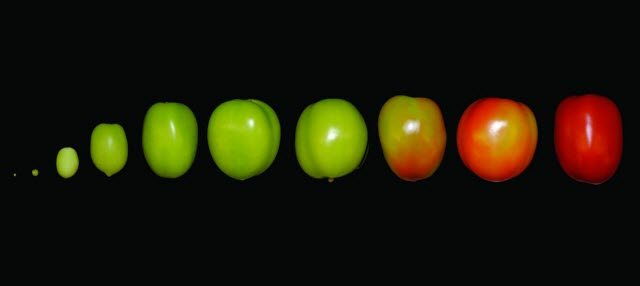 Tomato Ripening Sequence