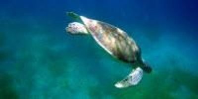 Novel Technologies Reveal Key Information About Depleted East Pacific Green Sea Turtles
