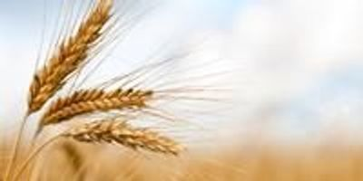 Research Brief: Origin of Deadly Wheat Pathogen Revealed