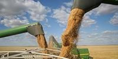Scientists Uncover a Genetic Mechanism that Could Enhance Yield Potential in Cereal Crops