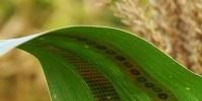 Engineers Make Wearable Sensors for Plants, Enabling Measurements of Water Use in Crops