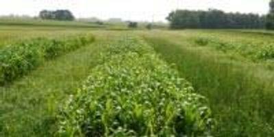 Alfalfa Loss? Annual Ryegrass Is a Win