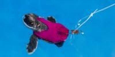 Tiny Treadmills Help Test Sea Turtle Stamina