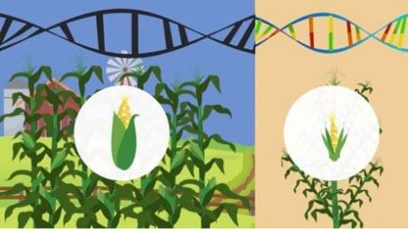 corn genetics
