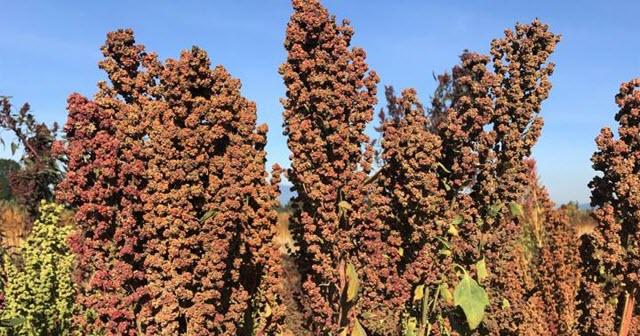 Tall Quinoa