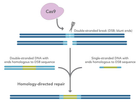 IDT Provides Optimized Conditions for HDR in CRISPR Editing