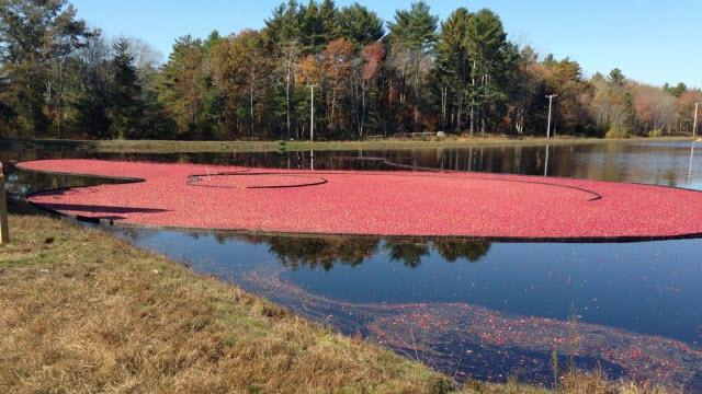 cranberry harvest of Atwood Bog