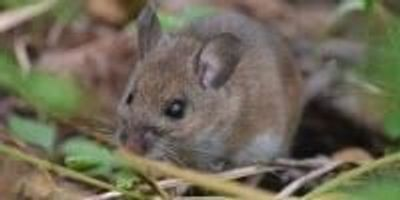 As Climate Warms, Mice Morph