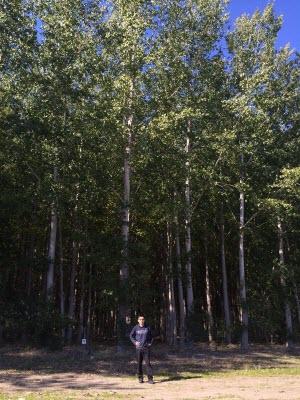 Trees from standard poplar farms