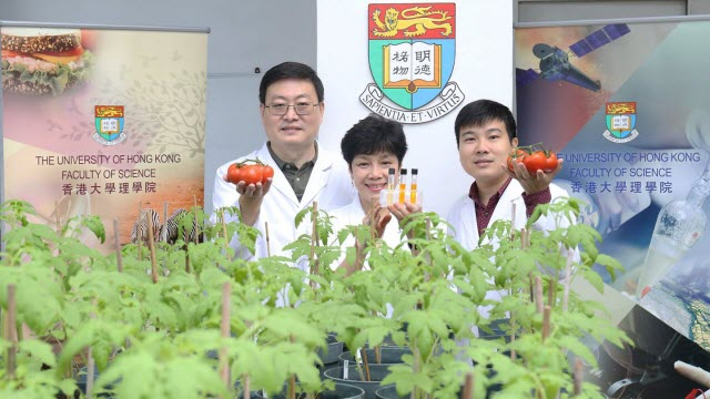 HKU Researchers Generate Tomatoes with Enhanced Antioxidant Properties by Genetic Engineering
