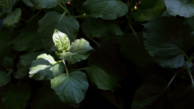 Bioengineered Tobacco Plant